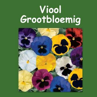 Viool grootbloemig