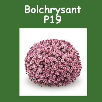 Bolchrysant
