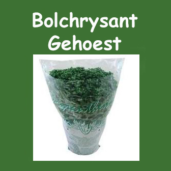 Bolchrysant gehoest